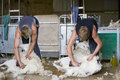 Young farmers shearing sheep for wool in barn Royalty Free Stock Photo
