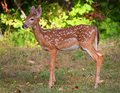 Young fawn whitetail deer with spots out in the daytime Royalty Free Stock Photography