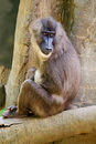 Young female baboon resting in tree Stock Image