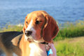 Young female beagle Royalty Free Stock Photo