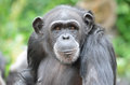 Young female chimp a close up of a Stock Photo