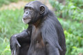 Young female chimp a close up of Stock Photo