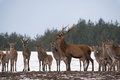 Young Female Deer Group And Adult Deer With Large Antlers Standing In Profile And Dedicated Depth Of Focus. Group Of Different-Age Royalty Free Stock Photo