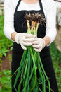 Young female gardener holding fresh onion closeup of a woman showing a organic plants bouquet Royalty Free Stock Images