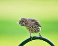 Young female house finch sitting wrought iron shepherd s hook s head tipped curious cute manner Stock Photos