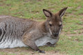 Young female red kangaroo close up on a background of grass Royalty Free Stock Photo