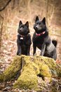 Young females of schipperke is sitting on trunk. Royalty Free Stock Photo
