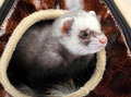 Young ferret sticking out house Stock Photos