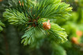 Young fir branch in nature Royalty Free Stock Photos