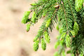 Young fir branch in nature Stock Photo