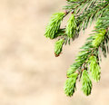 Young fir branch in nature Stock Photography
