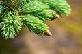 Young fir branch in nature Stock Images