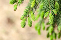Young fir branch in nature Royalty Free Stock Image