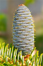 Young fir cone on blurred natural background close up Royalty Free Stock Images