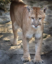 Young Florida Panther Stock Images