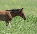 young foal galloping across Royalty Free Stock Photo