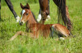 Young foal laying in grass at the feet of her mother Stock Photo