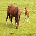 Young foal and mare in meadow grazing brown Stock Images