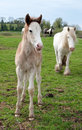Young foal with mother on a meadow Stock Photos