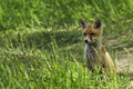 Young fox in the clearing Royalty Free Stock Images
