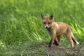 Young fox in the clearing Royalty Free Stock Photos