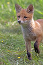 Young fox in the clearing wild Stock Photo