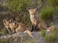 Young Fox Kit Royalty Free Stock Photos