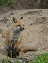 Young fox outside it s den Royalty Free Stock Photo