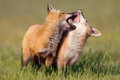 Young fox at play two red foxes playing Stock Photo
