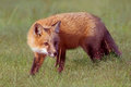Young fox red in field Royalty Free Stock Photography
