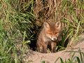 Young fox red vulpes vulpes days old Stock Images