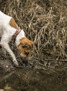 Young Fox Terrier got to the water. Royalty Free Stock Photo