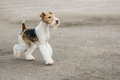 Young fox terrier runs on paved path Stock Photo