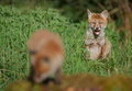 Young fox watching his sibling patiently Stock Photography