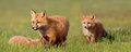 Young foxes at play wild red fox kits in field by their den site san juan islands Royalty Free Stock Image