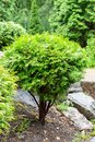 A young fresh evergreen thuja bush grows lonely among stones. Beautiful ornamental plant for the garden Royalty Free Stock Photo