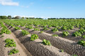 Young and fresh green potato plants close Royalty Free Stock Photo