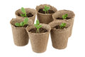 Young fresh seedling six stands in plastic pots Stock Image