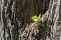 Young fresh sprout growing on tree bark in springtime Royalty Free Stock Photo