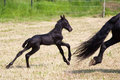 Young friesian foal runs behind the mother cute horse Royalty Free Stock Image