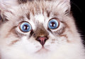 Young frightened cat blue eyed close up Royalty Free Stock Image