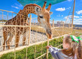 Young funny giraffe and beautiful little girl at the zoo. Little girl feeding a giraffe at the zoo at the day time. Royalty Free Stock Photo