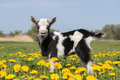 Young funny goat in dandelions and crying