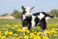 Young funny goat in dandelions