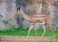 Young Gazelle Royalty Free Stock Photos