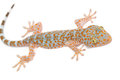 Young Gecko on the wall Royalty Free Stock Photo