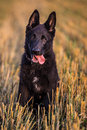 Young german shepherd in the field Royalty Free Stock Images