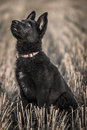Young german shepherd in the field Stock Photo