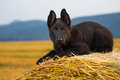 Young german shepherd in the field Stock Images