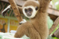 Young gibbon on the branch white hand Stock Photos